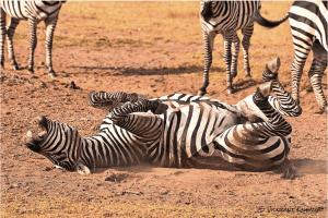 Zebra LOL